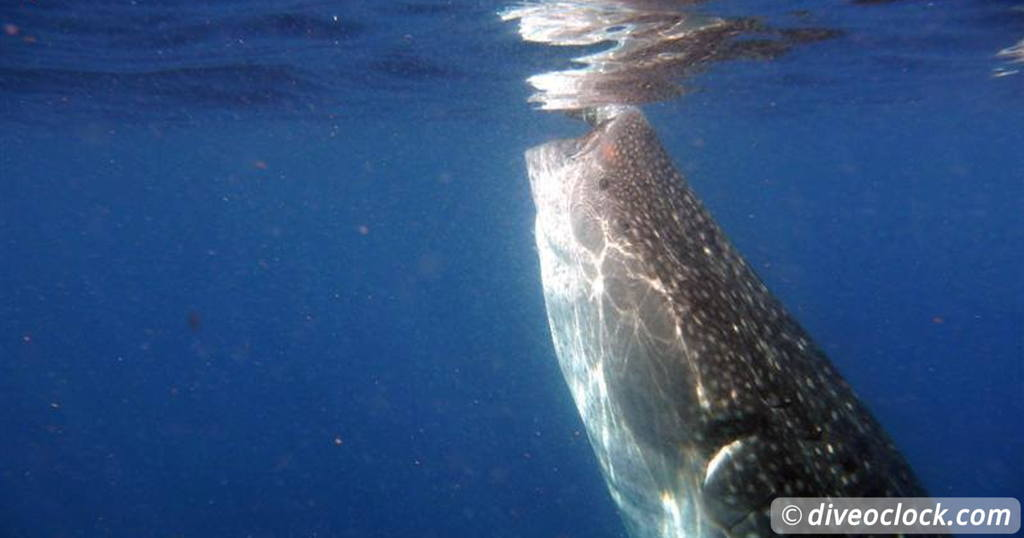 How Far Would You Go to See a Whale Shark in Real Life ...