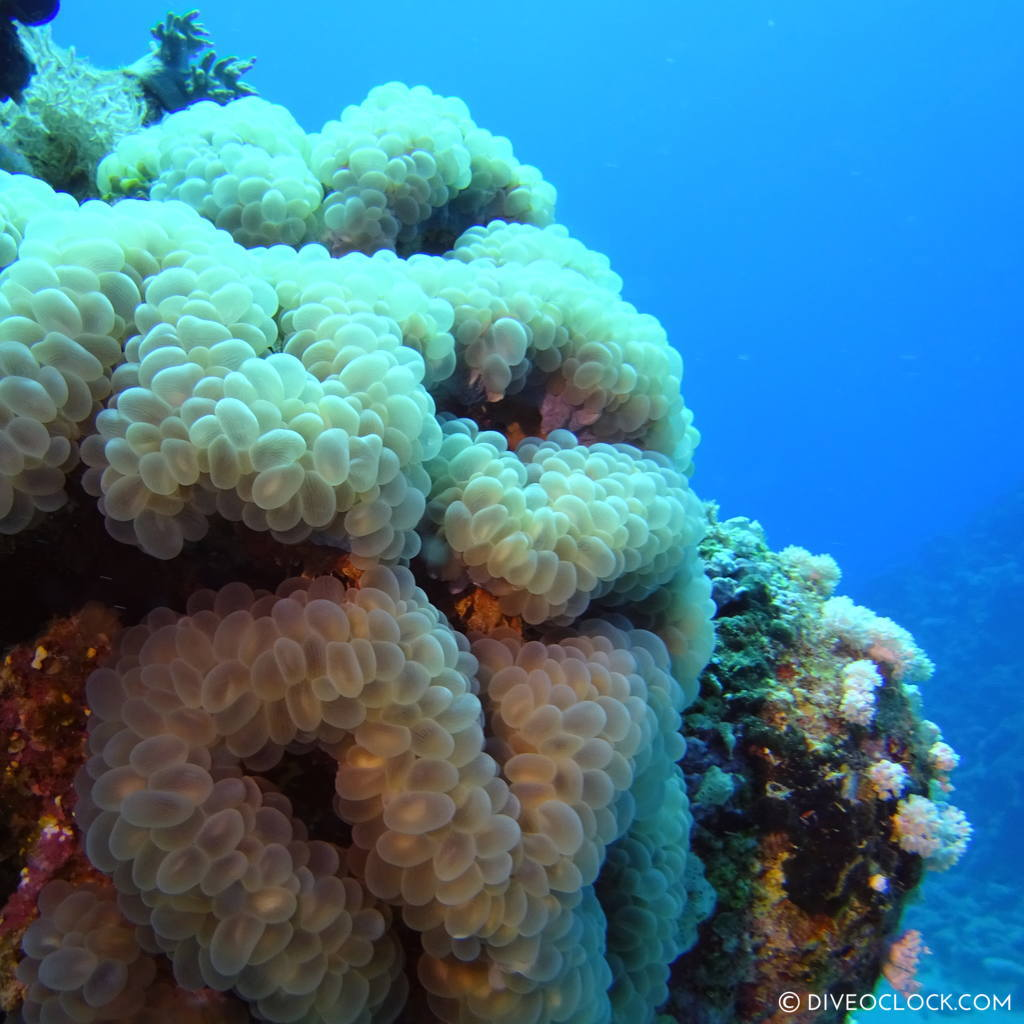 Bubblecoral red sea egypt marsa alam el quseir