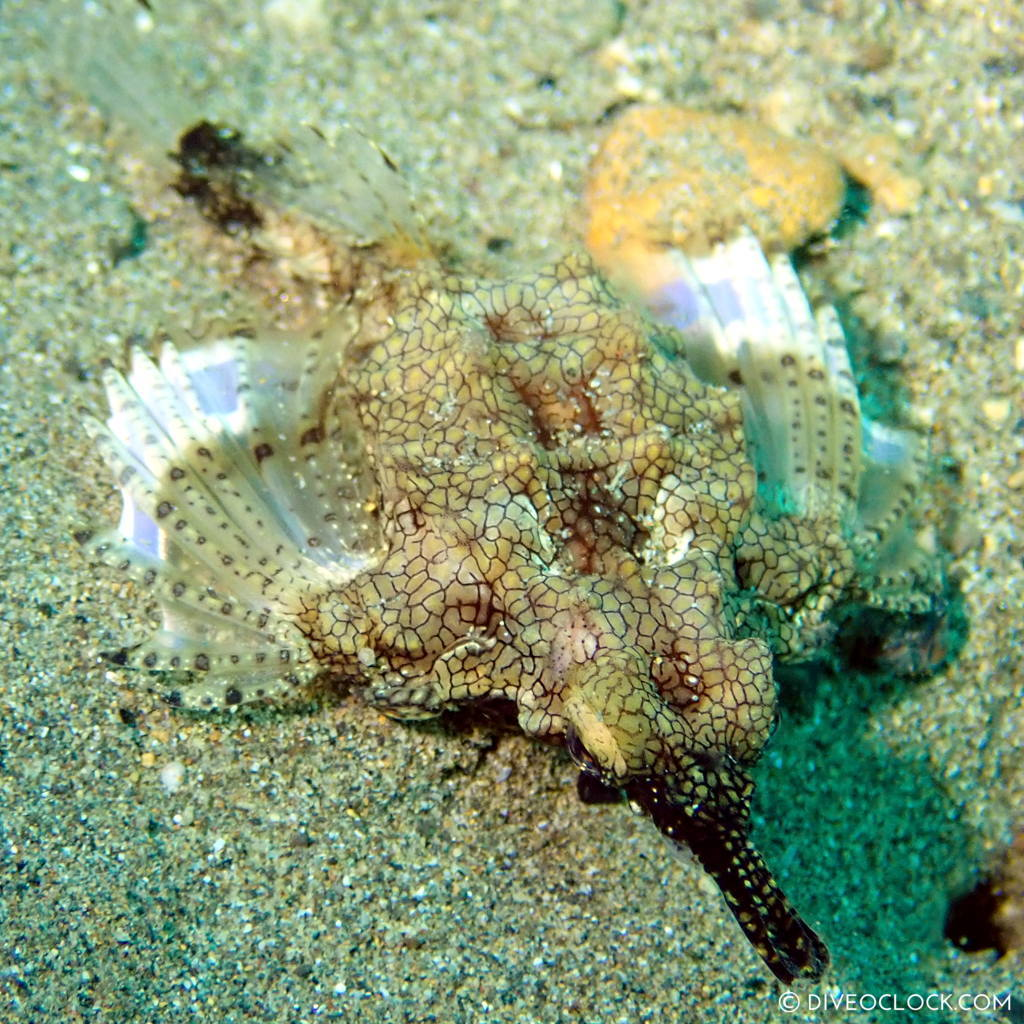 Dragon seamoth or Little dragon fish (Eurypegasus draconis) scuba-diving-anilao_philippines_diveoclock