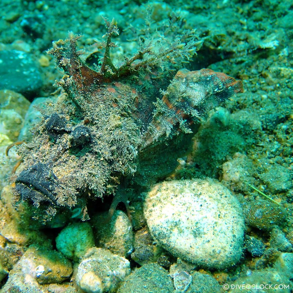 Devil stinger or Indian Walkman fish (Inimicus didactylus) scuba-diving-anilao_philippines_diveoclock