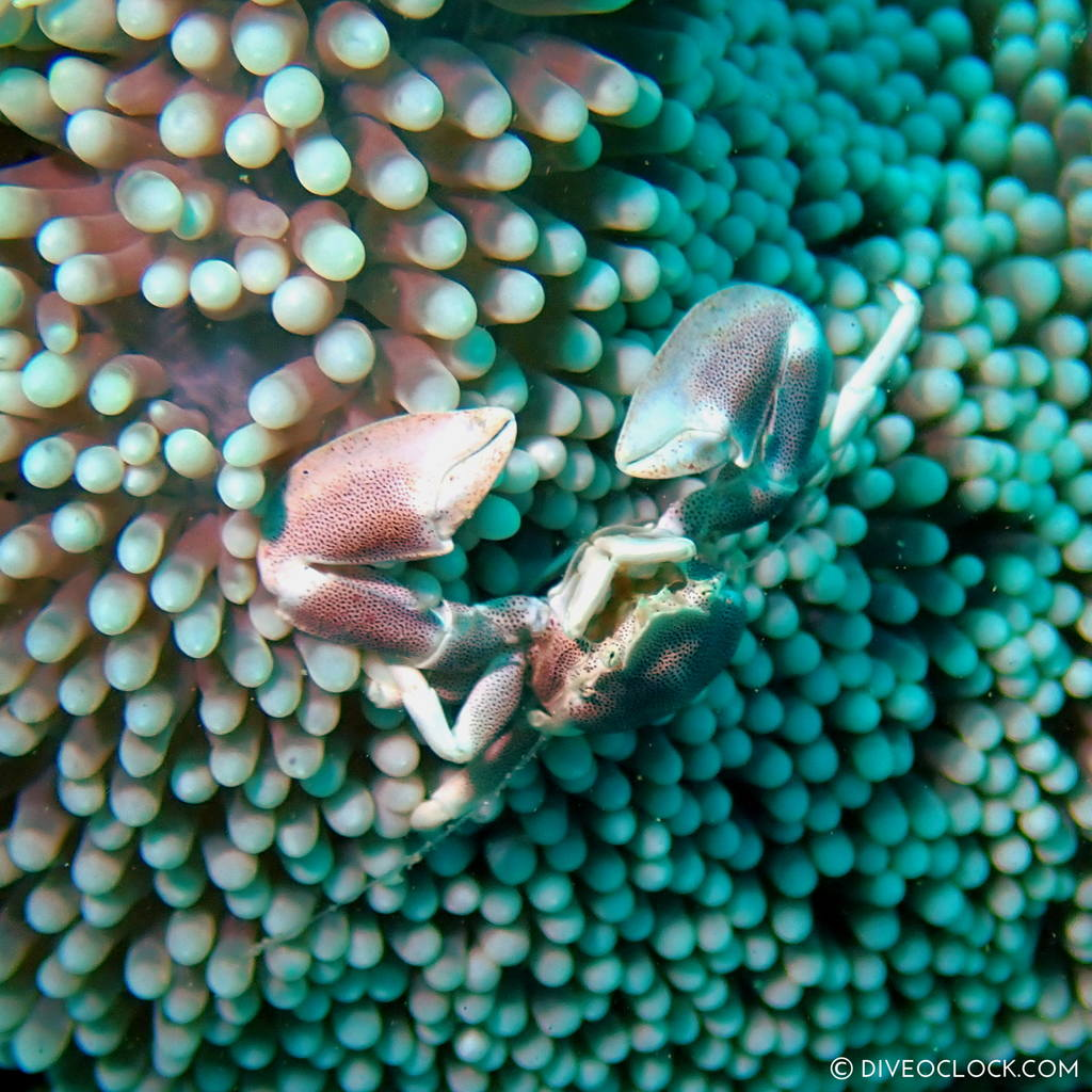 Porcelain Crab (Neopetrolisthes maculatus) scuba-diving-anilao_philippines_diveoclock