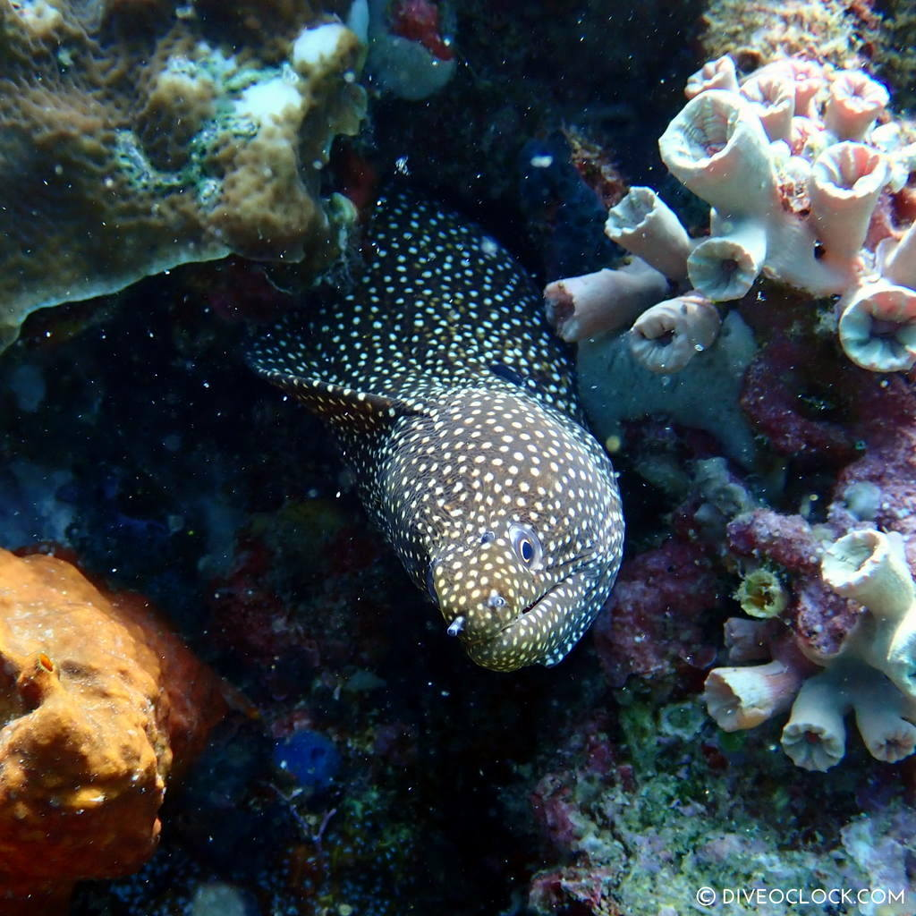 Turkey moray eel (Gymnothorax meleagris) scuba-diving-anilao_philippines_diveoclock