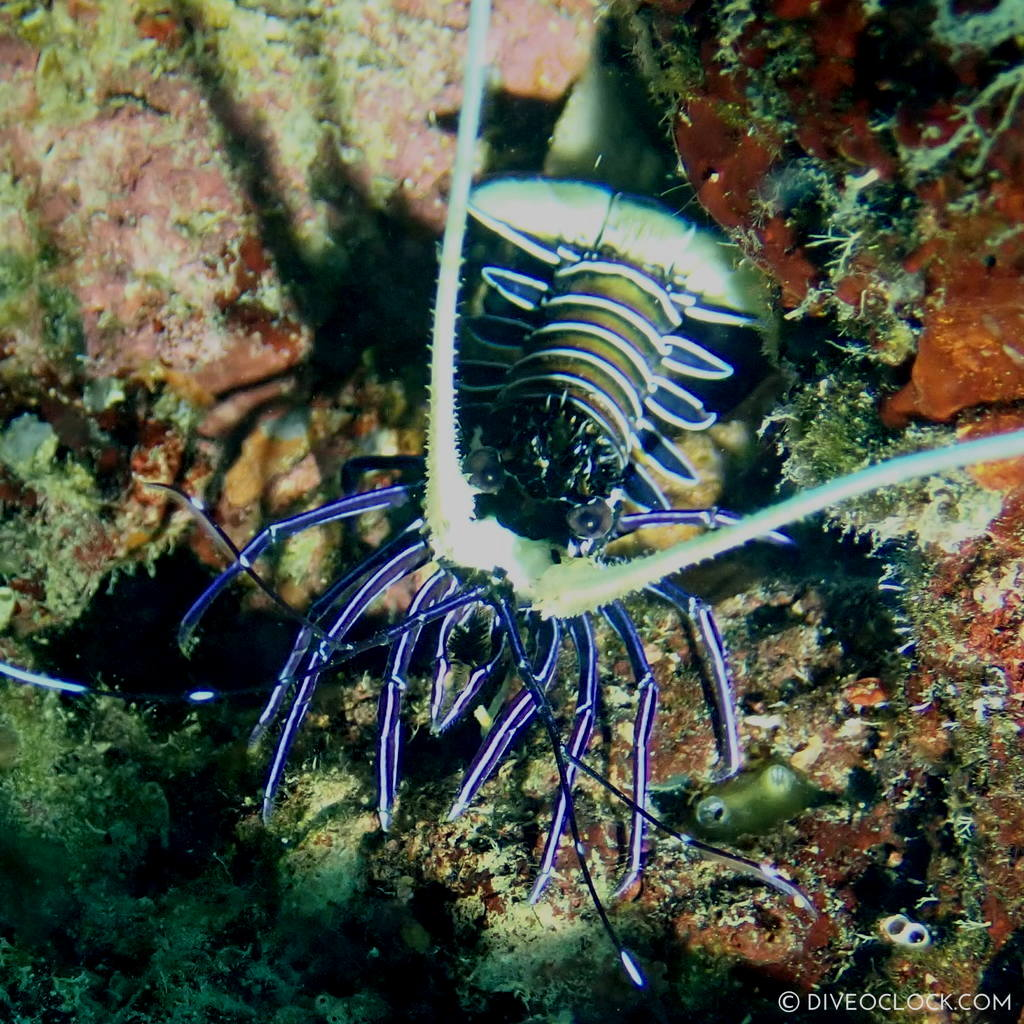 Spiny blue lobster (Panulirus versicolor) scuba-diving-anilao_philippines_diveoclock