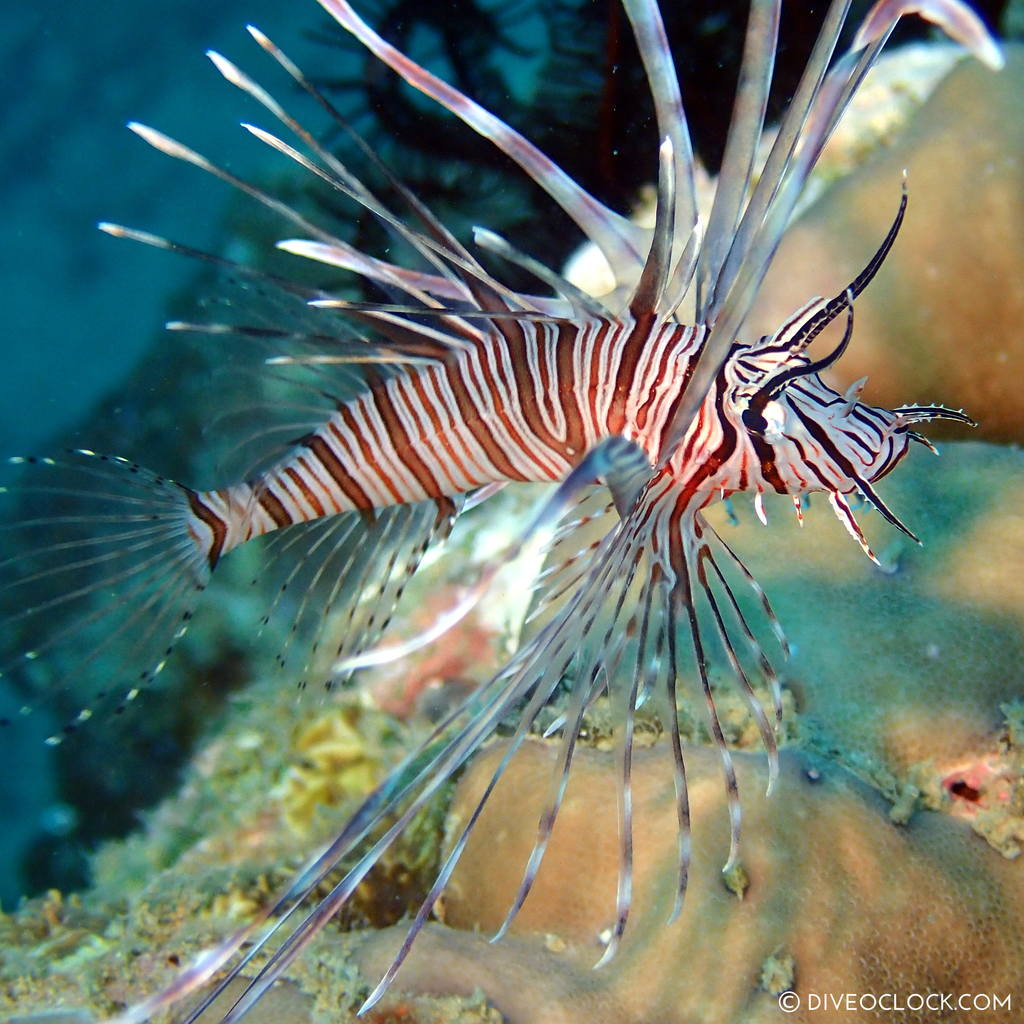 Lion fish (Pterois) scuba-diving-anilao_philippines_diveoclock