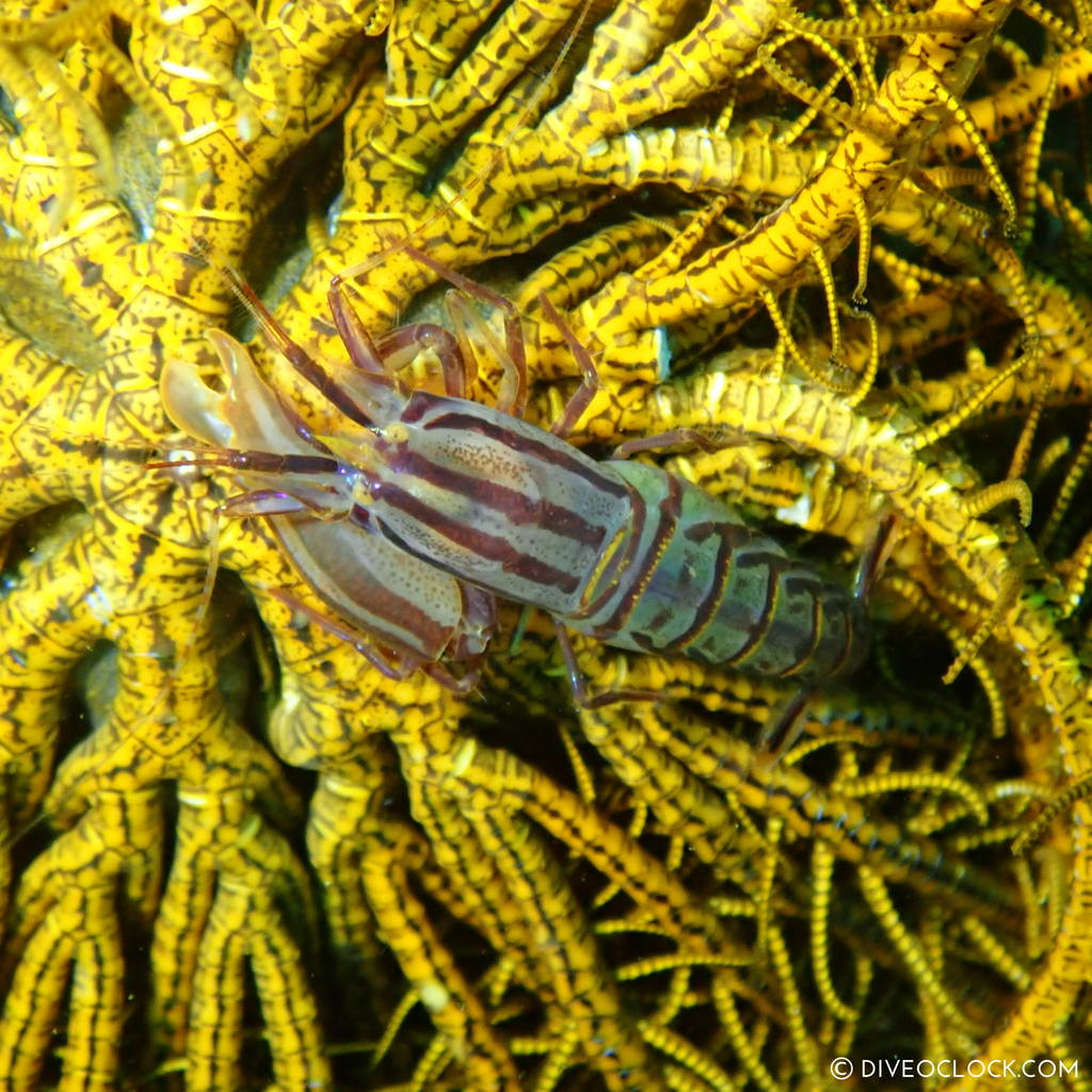 Crinoid shrimp, or feather star shrimp (Hippolyte catagrapha) scuba-diving-anilao_philippines_diveoclock