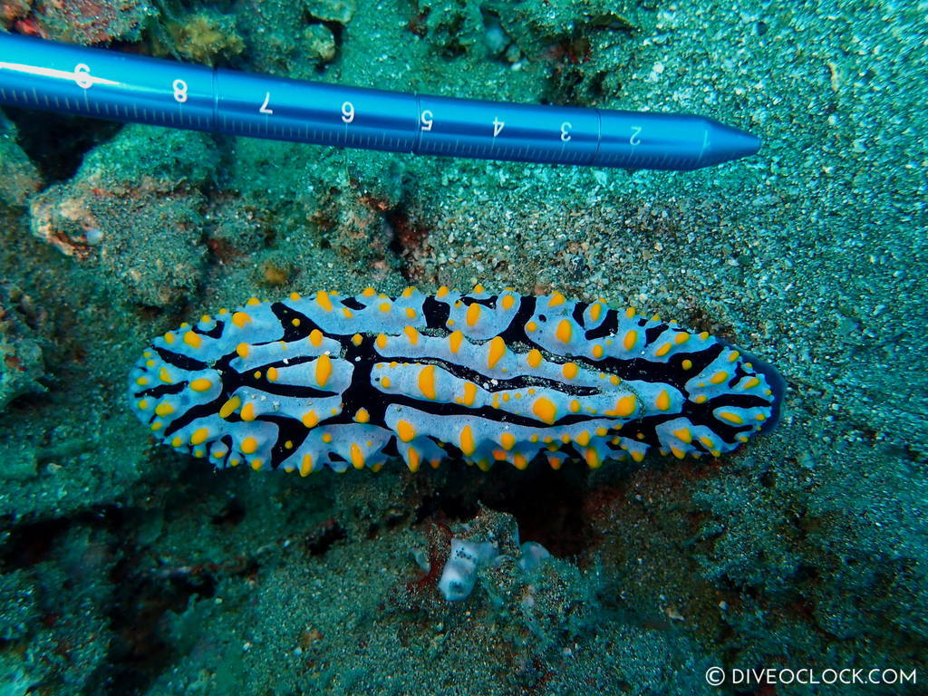 nudibranch_species_scuba-diving-anilao_philippines_diveoclock