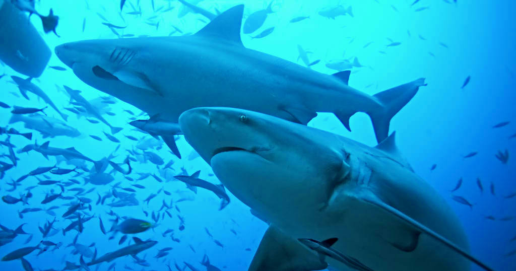SCUBA QUIZ: What Do You Know About Sharks? - Dive O'Clock!